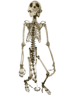 Skeletal Articulations